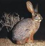 Riverine Rabbit – 13th most endangered mammal