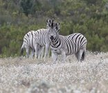 Doornbosch Game Lodge - Zebra on Doornbosch Game Farm
