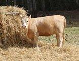 Doornbosch Game Lodge - Cutie our tame cow