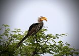Shakati Private Game Reserve - Yellow-billed hornbill
