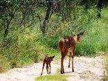 Shakati Game Reserve - Nyala
