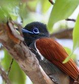 Shakati Game Reserve - Paradise flycatcher