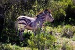 Buffelsdrift Game Lodge - Game - Zebra
