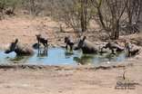 Silonque Bush Estate - Warthogs by Waterhole
