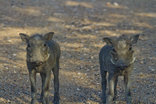 Silonque Bush Estate - Baby Warthogs