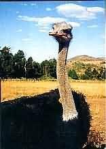 De Brug Ostrich Farm