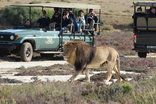 Garden Route Game Lodge - Male lion