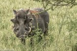 Re Tse Peli Game Lodge - Warthog