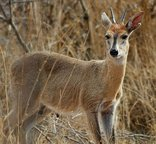 Re Tse Peli Game Lodge - Duiker
