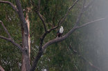 Broadwater River Estate - Resident eagles
