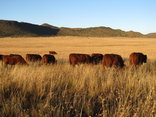 Hillside Farm - Bungaree Red Angus Cattle