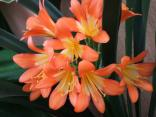 Cherry Tree Cottage - Garden-Clivias