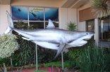 Natal Sharks Board