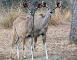 Bateleur Nature Reserve - Our curious  Kudu twins