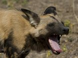 Vumbura Plains - Vumbura Plains Wilddog