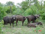 Mongena Game Lodge - Big 5 - Buffalo