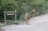 Masodini  Game Lodge - Lions