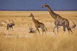 Mokuti Etosha Lodge - Giraffes in Etosha National Park