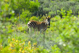 Orange Grove Farm - Zebra