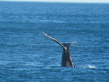 Sonnekus Guest House - Southern Right Whales