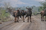 Zulu Nyala Game Lodge - Wildlife