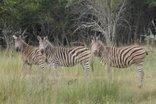 Andanté Game Farm - Zebras