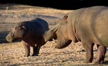 Thaba Khaya Lodge - Hippos at sunset