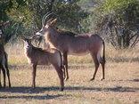 Thaba Khaya Lodge - Roan Antelope