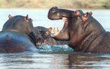 Zulani Guest House - Hippos