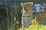 Inyati Private Game Reserve - #inyatisafari