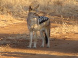 Morokolo Game Lodge - Jackal