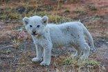Baobab Ridge Greater Kruger - White lion cub- Ross pride