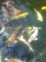 El Gran Chaparral Guest House - Large koi pond