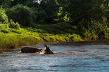 Maninghi Lodge - Hippos
