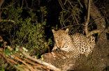 Maninghi Lodge - leopard