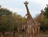 Needles Lodge - Giraffe