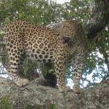 Bushwise Safaris - Leopard sighting on a game viewing safari