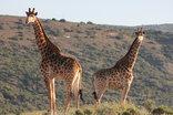 Leeuwenbosch Country House & Shearers Lodge - Giraffe