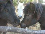 Forellenhof Guest Farm - Miniature horses