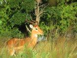 Moonriver Mountain Retreat - Impala Ram