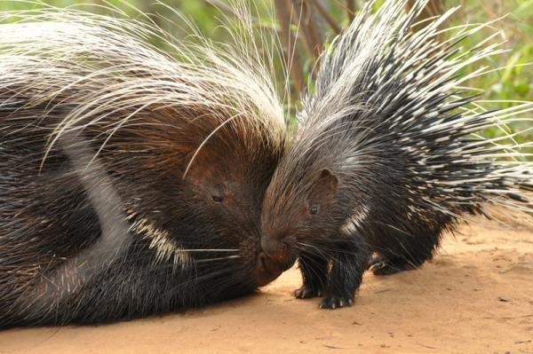 Porcupine female with youngster