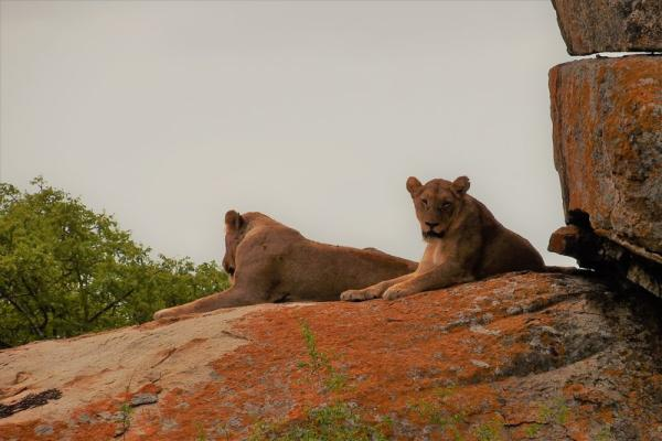 Lions on the boulders