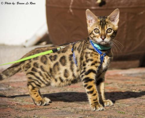 Our Asian Leopard Cat