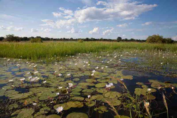 lily covered wetlands