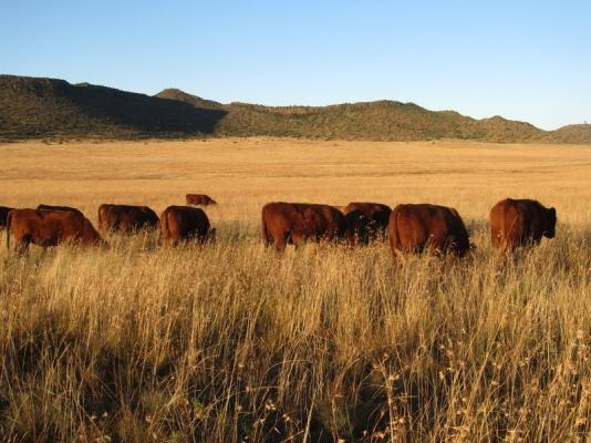 Bungaree Red Angus Cattle