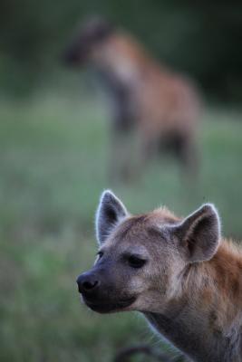 Wildlife - spotted hyena