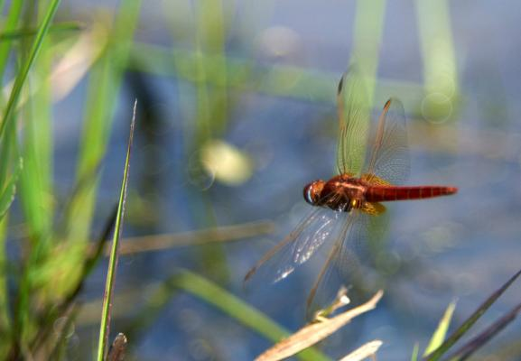 Wildlife - dragonfly