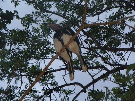 2 Hornbills stay in our Garden