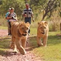 Walking-with-lions